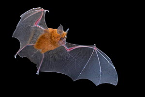 Lander's horseshoe bat (Rhinolophus landeri) in flight, Gorongosa National Park, Sofala, Mozambique. Controlled conditions  -  Naskrecki & Guyton