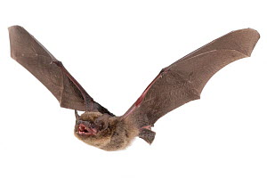 Pipistrelle bat (Hypsugo) in flight, Murombodzi Waterfall, Gorongosa National Park, Sofala, Mozambique. Controlled conditions  -  Piotr Naskrecki
