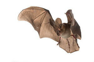 Large-eared slit-faced bat (Nycteris macrotis) in flight, Bela Vista, Gorongosa National Park, Sofala, Mozambique. Controlled conditions  -  Piotr Naskrecki