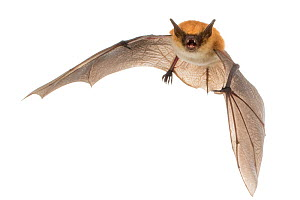 Rufous mouse-eared bat (Myotis bocagii) in flight, Bela Vista, Gorongosa National Park, Sofala, Mozambique. Controlled conditions  -  Piotr Naskrecki