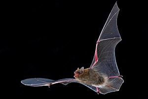 Bat (Neoromicia) in flight, Chitengo, Gorongosa National Park, Sofala, Mozambique. Controlled conditions  -  Piotr Naskrecki