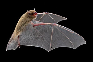 Bat (Neoromicia) in flight, Chitengo, Gorongosa National Park, Sofala, Mozambique. Controlled conditions  -  Naskrecki & Guyton
