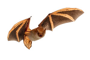 Welwitsch's bat (Myotis welwitschii) in flight, Bela Vista, Gorongosa National Park, Sofala, Mozambique. Controlled conditions  -  Piotr Naskrecki
