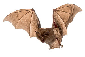 Swinny's Horseshoe Bat (Rhinolophus swinnyi) in flight, Gorongosa National Park, Sofala, Mozambique. Controlled conditions  -  Piotr Naskrecki