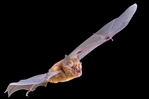 Decken's horseshoe bat (Rhinolophus deckenii) in flight, Chitengo, Gorongosa National Park, Sofala, Mozambique. Controlled conditions  -  Piotr Naskrecki