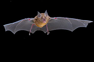 Decken's horseshoe bat (Rhinolophus deckenii) in flight, Chitengo, Gorongosa National Park, Sofala, Mozambique. Controlled conditions  -  Naskrecki & Guyton