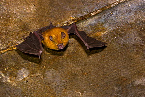 Sundevall's roundleaf bat (Hipposideros caffer), Gorongosa National Park, Sofala, Mozambique. Controlled conditions  -  Piotr Naskrecki