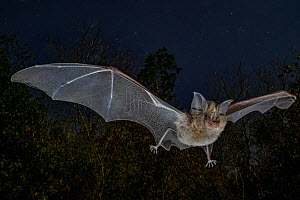 Horseshoe bat (Rhinolophus lobatus) in flight, ** Chitengo, Gorongosa National Park, Sofala, Mozambique. - Piotr Naskrecki