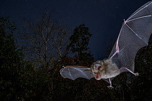Horseshoe bat (Rhinolophus lobatus) in flight, *** Chitengo, Gorongosa National Park, Sofala, Mozambique.  -  Piotr Naskrecki