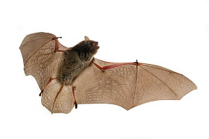 Pipistrelle (Neoromicia sp, Bat (Vespertilionidae) in flight, Chironde,  Sofala, Mozambique. Controlled conditions  -  Piotr Naskrecki