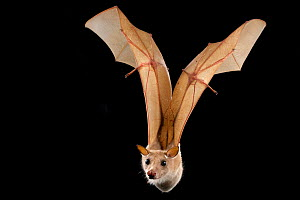 Epaulletted fruit bat (Epomophorus wahlbergi) in flight, Chironde, Sofala, Mozambique. Controlled conditions - Naskrecki & Guyton