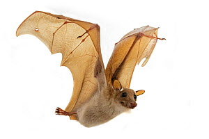 Epaulletted fruit bat (Epomophorus) in flight, Chironde, Sofala, Mozambique. Controlled conditions  -  Piotr Naskrecki