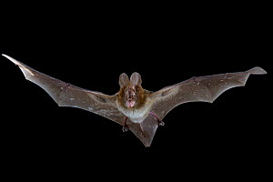 Large slit-faced bat (Nycteris grandis) in flight, Chironde, Sofala, Mozambique. Controlled conditions - Naskrecki & Guyton