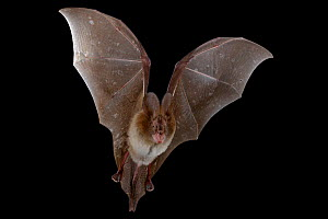 Large slit-faced bat (Nycteris grandis) in flight, Chironde, Sofala, Mozambique. Controlled conditions  -  Piotr Naskrecki