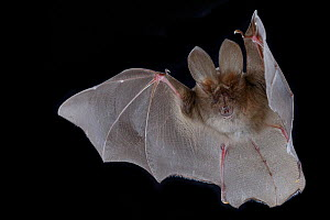 Egyptian slit-faced bat (Nycteris thebaica) in flight, Chironde, Sofala, Mozambique. Controlled conditions - Naskrecki & Guyton