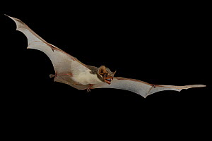 Mauritian tomb bat (Taphozous mauritianus) in flight, Chironde, Sofala, Mozambique. Controlled conditions  -  Piotr Naskrecki