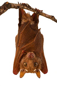 Peters's epauletted fruit bat (Epomophorus crypturus) roosting, Gorongosa National Park, Sofala, Mozambique. Controlled conditions  -  Piotr Naskrecki