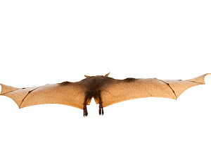 Wahlberg's epauletted fruit bat (Epomophorus wahlbergi) in flight, Gorongosa National Park, Sofala, Mozambique. Controlled conditions  -  Piotr Naskrecki