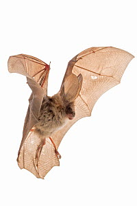Egyptian slit-faced bat (Nycteris thebaica) in flight, Gorongosa National Park, Sofala, Mozambique. Controlled conditions  -  Piotr Naskrecki