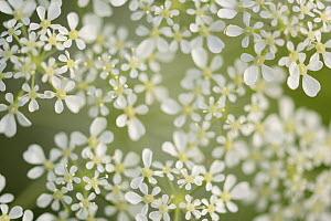 Cow parsley (Anthriscus sylvestris) Oland, Sweden, May. - Sandra Bartocha
