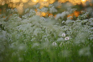 Cow parsley (Anthriscus sylvestris) with Dandelion (Taraxacum officinale) Oland, Sweden - Sandra Bartocha