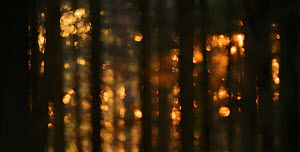 Sunset light and bokeh effect in coniferous forest, Tiveden NP, Sweden, May. - Sandra Bartocha