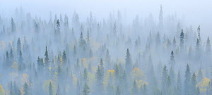 Finnish Taiga in mist, Oulanka National Park, Finland, September. - Sandra Bartocha