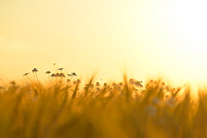 Barley field (Hordeum vulgare) with Camomile (Matricaria chamomilla) flowers at sunset, Gotland, Sweden - Sandra Bartocha