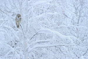 Ural owl (Strix uralensis) perched in snow covered tree,  Oulanka National Park, Finland, February - Werner Bollmann