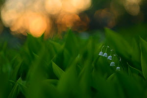 Lily of the Valley (Convallaria majalis) Oland, Sweden, May. - Werner Bollmann