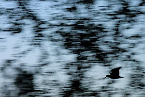 Abstract view of Eurasian woodcock (Scolopax rusticola) in flight, Hallefors, Sweden. Small repro only.  -  Werner Bollmann