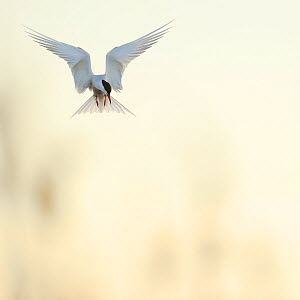 Common tern (Sterna hirundo) flying looking down to the ground, St. Anna Archipelago, Sweden, May.  -  Werner Bollmann
