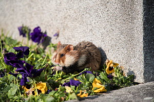 European hamster (Cricetus cricetus), adult, feeding on viola on a grave in a cemetery, Vienna, Austria. - Kerstin  Hinze