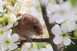 Harvest mouse (Micromys minutus), adult, climbing between flowering blackthorn, captive. April.  -  Kerstin  Hinze