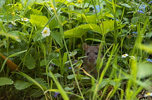 Brown rat (Rattus norvegicus) juvenile, among strawberry flowers and forget-me-nots, Hanover, Lower Saxony, Germany, May. - Kerstin  Hinze
