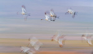 Sandhill cranes (Grus canadensis) group in flight, blurred motion, Bosque del Apache National Wildlife Refuge, New Mexico, USA. December. - Jack Dykinga