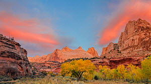 Navajo Dome at dawn with autumn coloured Cottonwoods (Populus) lining the Fremont River Capitol Reef National Park,  Utah, USA, October 2017.  -  Jack Dykinga