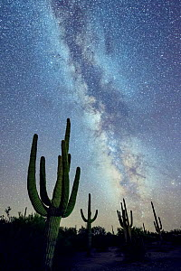 Saguaro (Carnegiea gigantea) cacti  at night with the Milky Way .  Desert National Monument, Arizona, USA, September.  -  Jack Dykinga