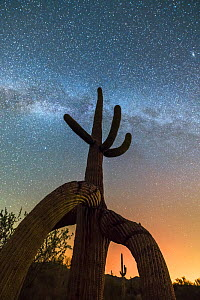 Twisted Saguaro cactus (Carnegiea gigantea) with the Milky Way and distant glow of Phoenix lights, Sonoran Desert National Monument, South Maricopa Mountains Wilderness, Arizona, USA. September 2017.  -  Jack Dykinga