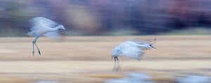 Sandhill cranes (Grus canadensis) landing at sunset, blurred motion, Bosque del Apache National Wildlife Refuge, New Mexico, USA.  -  Jack Dykinga