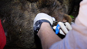 Vets attaching an ear transmitter to a male Brown bear (Ursus arctos) anaesthetised in Slovenia for a reintroduction project in the Pyrenees, Jelen Reserve, Slovenia, June, 2016. - David Perpinan