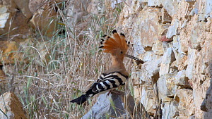 Hoopoe (Upupa epops) arriving at its nest with prey, Cuenca, Castile-La Mancha, Spain - David Perpinan