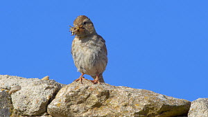 Common rock sparrow (Petronia petronia) perched near entrance to nest with food in its beak, Cuenca, Castile-La Mancha, Spain, June. - David Perpinan
