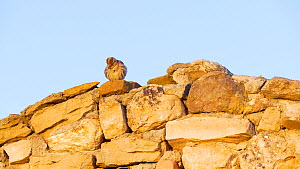 Common rock sparrow (Petronia petronia) perched on a rock shelter at dawn, Cuenca, Castile-La Mancha, Spain, June. - David Perpinan