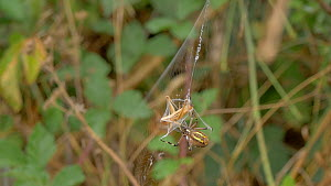 Slow motion clip of a Wasp spider (Argiope bruennichi) wrapping a grasshopper in silk, Cuenca, Castile-La Mancha, Spain, August. - David Perpinan