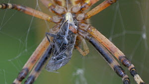 Close-up of a Wasp spider (Argiope bruennichi) eating a fly caught in its web, Cuenca, Castile-La Mancha, Spain, August.  -  David Perpinan