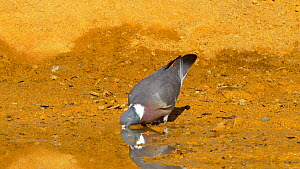 Woodpigeon (Columba palumbus) drinking, Cuenca, Castile-La Mancha, Spain, June.  -  David Perpinan