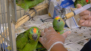 Carer feeding Blue fronted amazon (Amazona aestiva) chicks, confiscated from illegal wildlife trade, Brazil. - David Perpinan