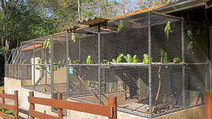 Cages containing Blue fronted amazons (Amazona aestiva), confiscated from illegal wildlife trade, Brazil. - David Perpinan