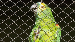 Close-up of an unreleaseable Blue fronted amazon (Amazona aestiva) in cage, confiscated from illegal wildlife trade, Brazil. - David Perpinan
